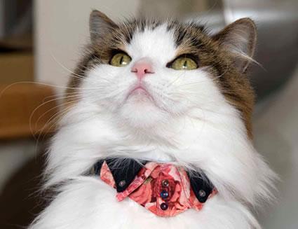 ちょこトレンディー〜トレボットーニドレスシャツ猫首輪花柄シリーズ