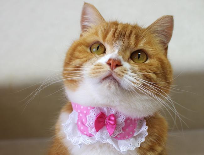 ちょこえり猫首輪 丸えり綿レース水玉シリーズ