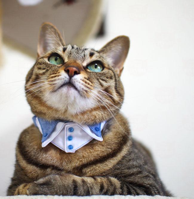 ちょこトレンディー トレボットーニドレスシャツ 猫首輪 ダンガリーシリーズ