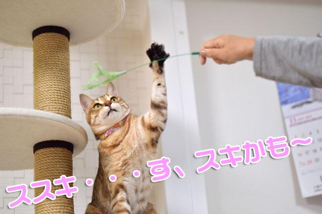 じゃれ猫猫のお遊び草ススキ草