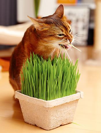 MJU ペットグラス 犬と猫が好きな草 栽培セット〜燕麦(エンバク)が好きな猫ちゃんのために〜完全無農薬栽培〜