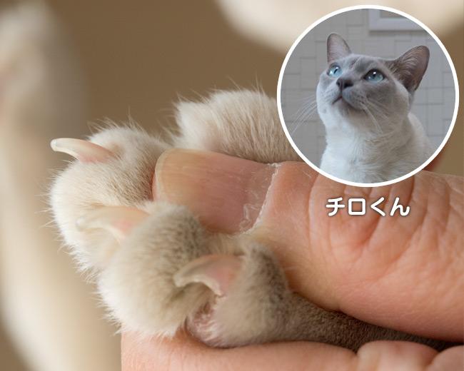 爪とぎ特集 〜 チロくんの爪
